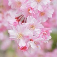 桜の季節♪和装前撮りプラン10万円 ロケーションフォトOK!
